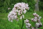 naturheilkunde baldrian heilpflanze heilkräuter