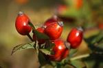 naturheilkunde hagebutte heilpflanzen