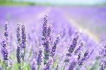 naturheilkunde lavendel heilpflanzen