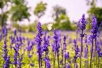 naturheilkunde salbei heilpflanzen